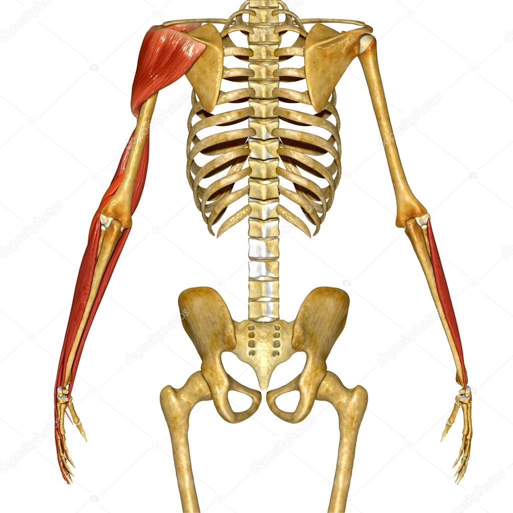Hand-Muskel, menschliche Anatomie — Stockfoto © sciencepics #76745831
