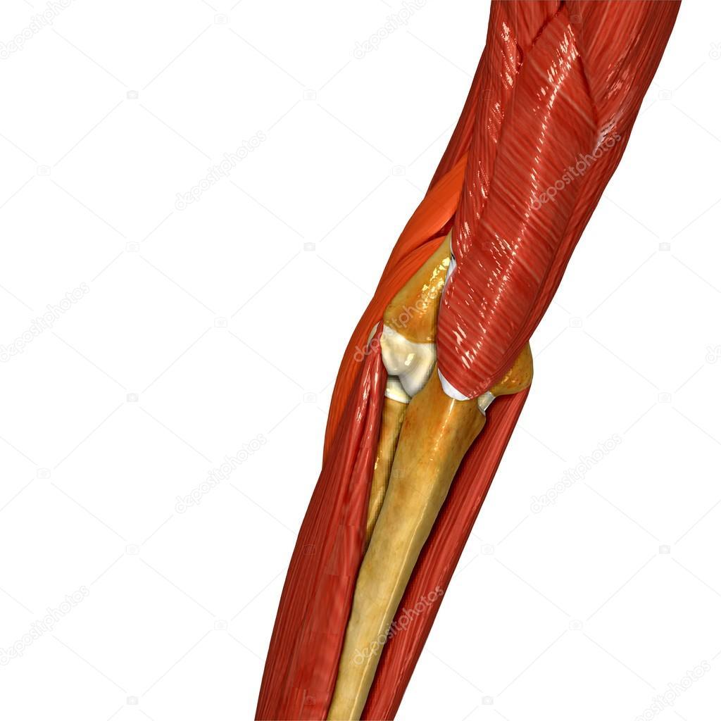 Hand-Muskel, menschliche Anatomie — Stockfoto © sciencepics #76745861