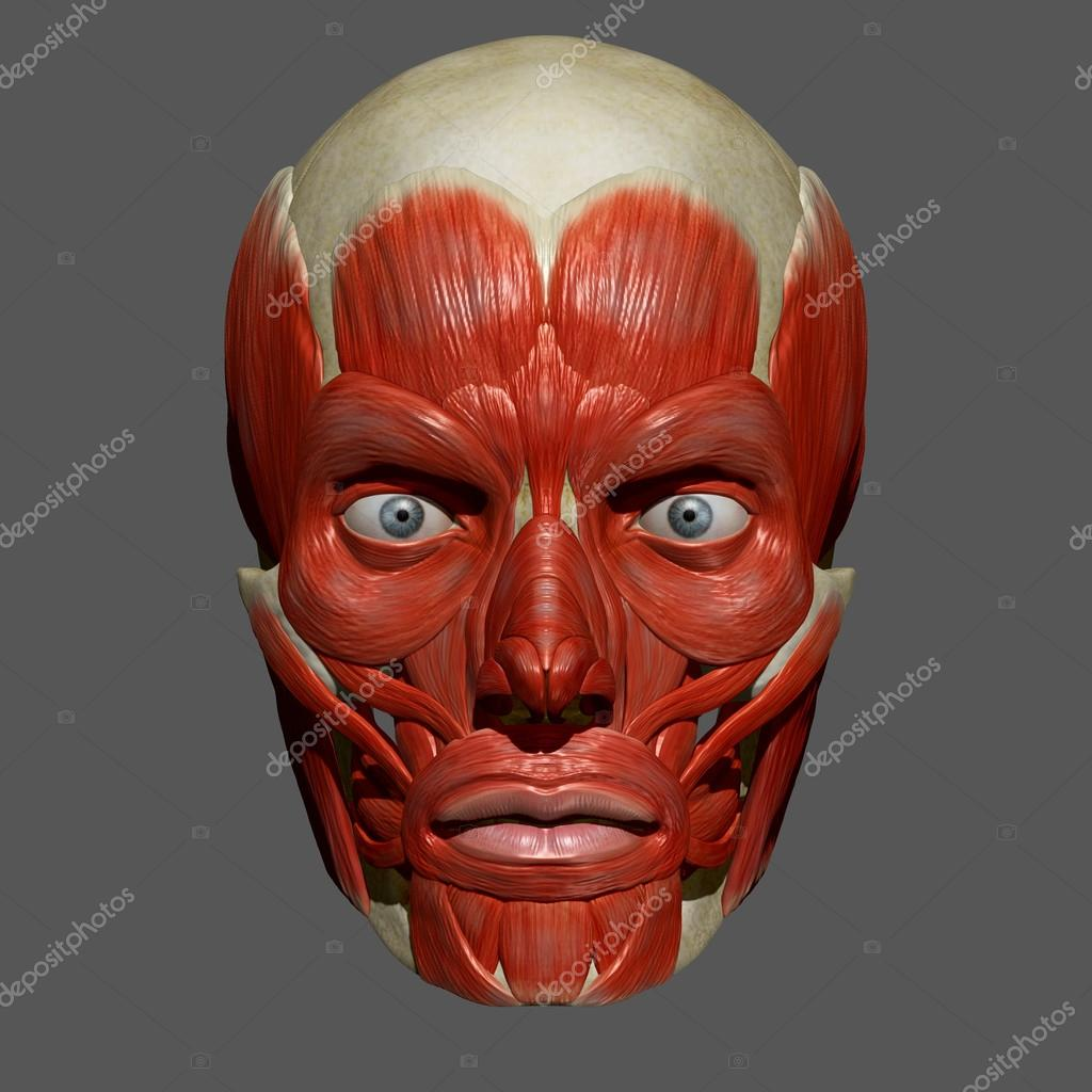 Facial Muscles, Human Anatomy — Stock Photo © sciencepics #76747197