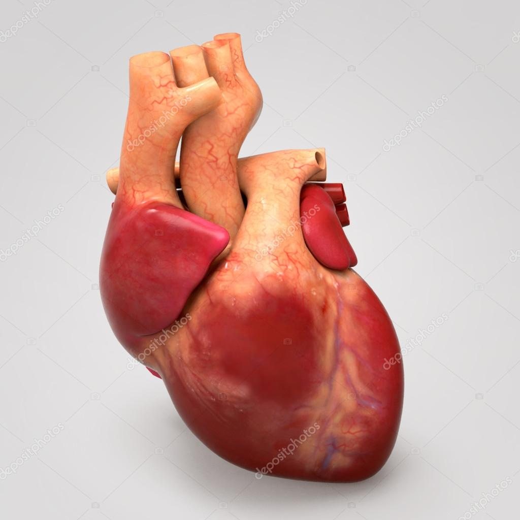 Corazón humano, anatomía humana — Fotos de Stock © sciencepics #76747227