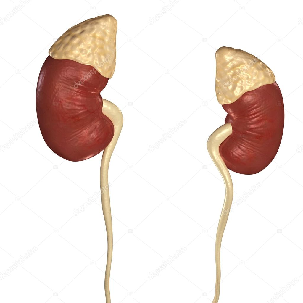 Menschlichen Nieren, menschliche Anatomie — Stockfoto © sciencepics ...