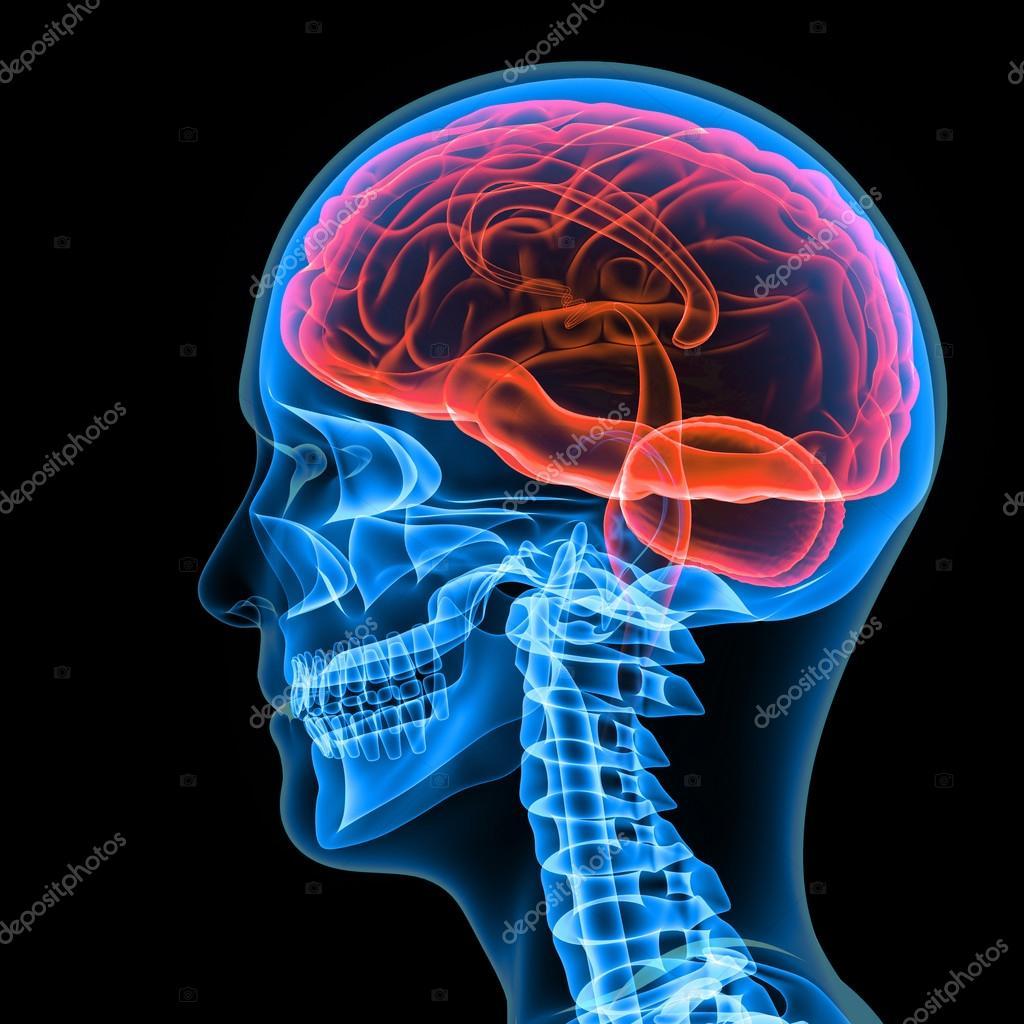Menschliche Gehirn, menschliche Anatomie — Stockfoto © sciencepics ...