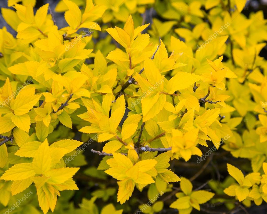 busch mit gelben bl ttern stockfoto arcadi1962 72234249. Black Bedroom Furniture Sets. Home Design Ideas