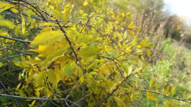 Yellow leaves on a tree branch. Closeup video. Media. Large yellowed leaves hang on branches in the autumn forest. Concept of nature and changing seasons.
