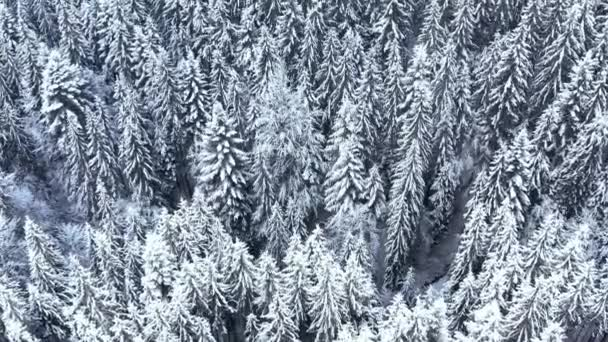 Winterwald in den Bergen. immergrüne Bäume.