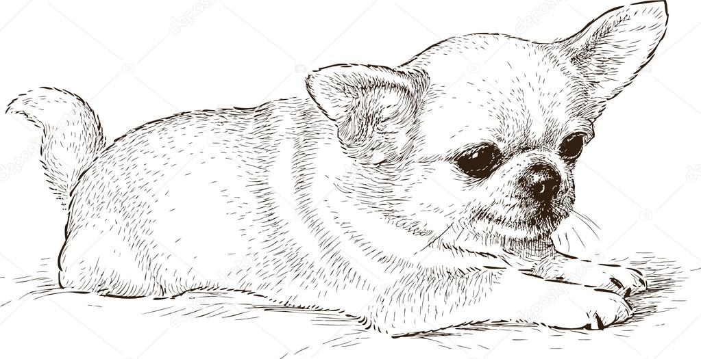 Dibujo De Chihuahua: Stock Vector © Alekseimakarov #79836938