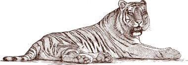 sketch of lying tiger