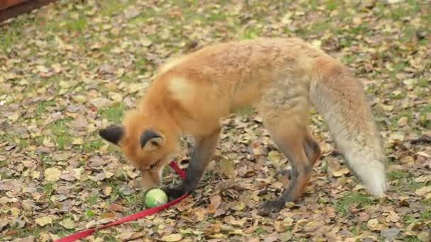 Abstract Fox Is Played With A Ball