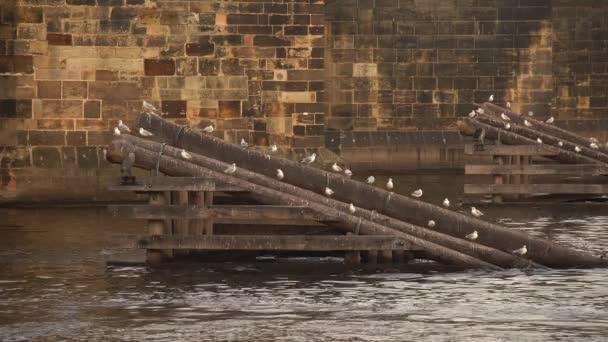divocí racci na dřevěných bariérách na hladině Vltavy u Karlova mostu v centru České republiky
