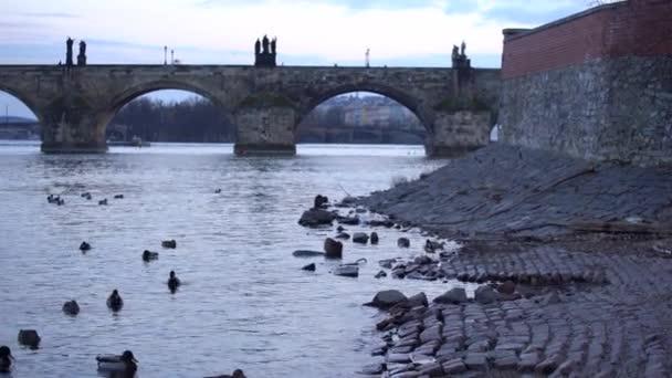 Zoom auf der Karlsbrücke in der Nacht auf der Moldau Zwei weiße Schwäne, Enten auf der Oberfläche der Moldau am Ufer und im Hintergrund Gebäude im Zentrum von Prag