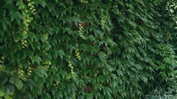 Dlouhý zelený plíživý břečťan vylezl po oranžové dřevěné stěně a úplně ji zakryl. Malá část skla je viditelná skrz stonky rostliny..