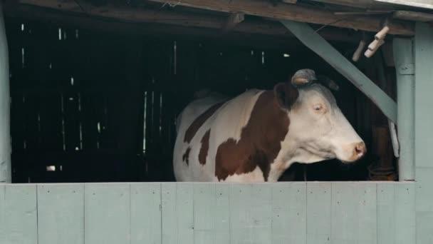 Im Dorfhof steht eine weiße Kuh mit braunen Flecken im Stall hinter einer grauen Krippe und wird mit einem Seil unter dem Horn an eine Holzstange gebunden, dreht den Kopf und blickt in die Kamera, und im Vordergrund setzt sich Rauch ab.