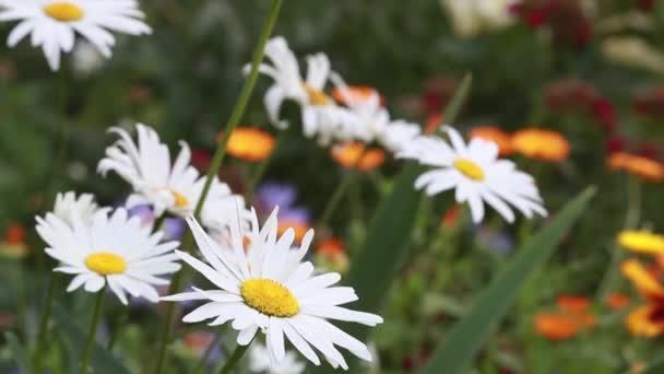 Bílé velké heřmánkový houpat ve větru letní den