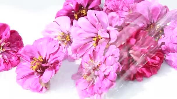 Květenství tsiniya na bílém podkladu pod sprškou vody květ