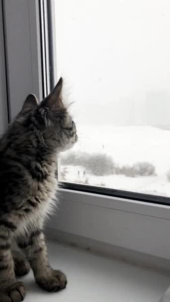 Bolyhos cica nézi a havat az ablakon keresztül