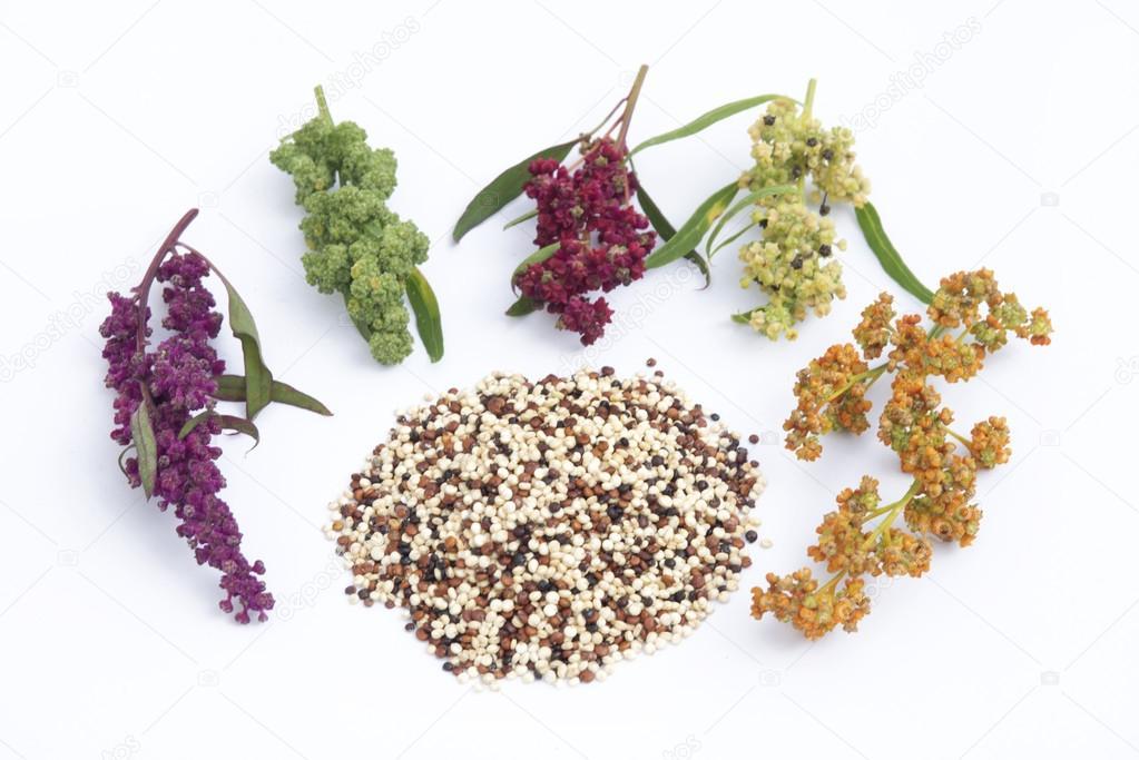Quinoa plant and seeds