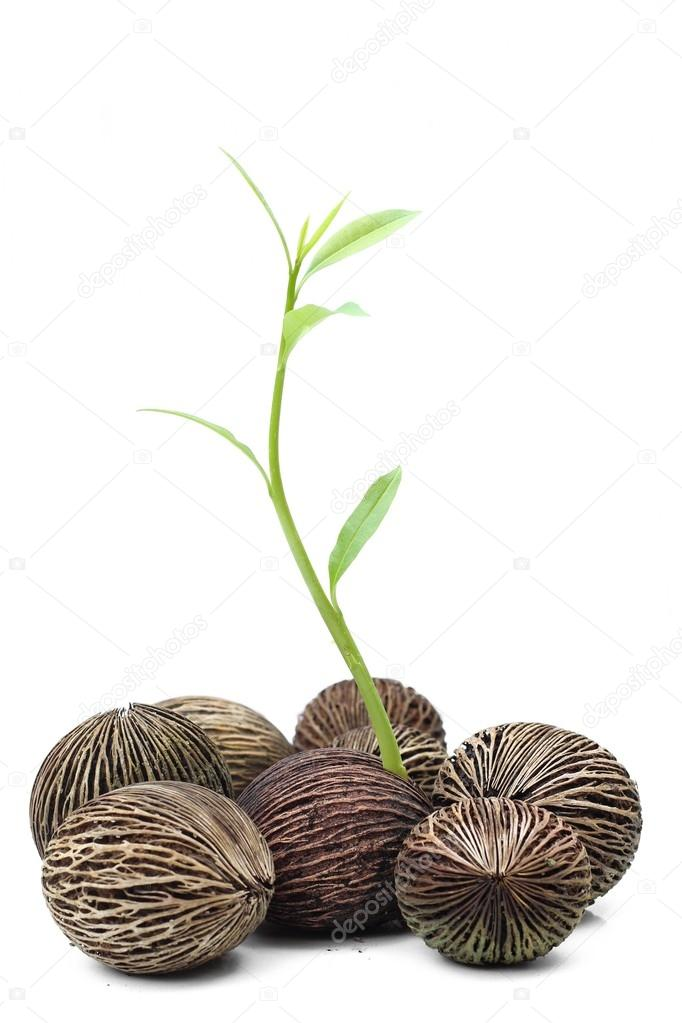 New life suicide tree seed