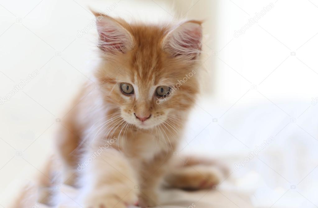 Chat Maine Coon chaton marche — Photographie Bignai ...