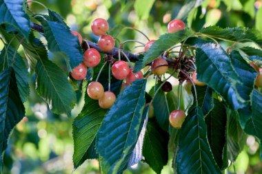 Fresh and sweet cherries ripening in the cherry tree