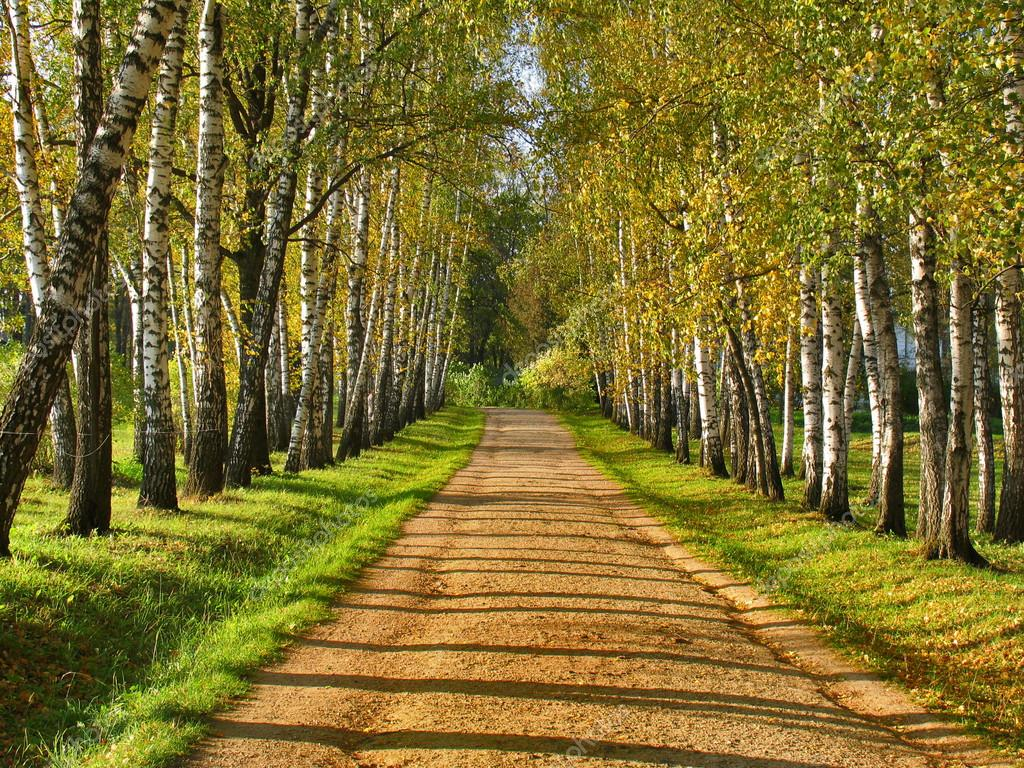 Birch alley - Preshpect in autumn, Yasnaya Polyana, Tula, Russia