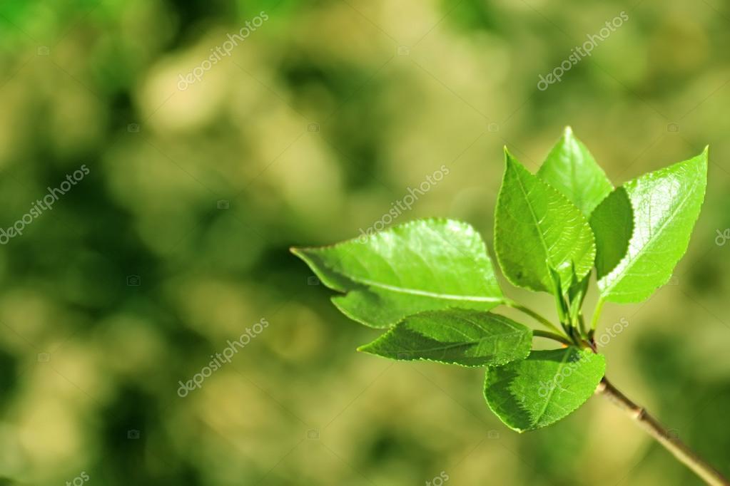 Hojas de color verde fresco joven florecimiento en primavera — Foto ...