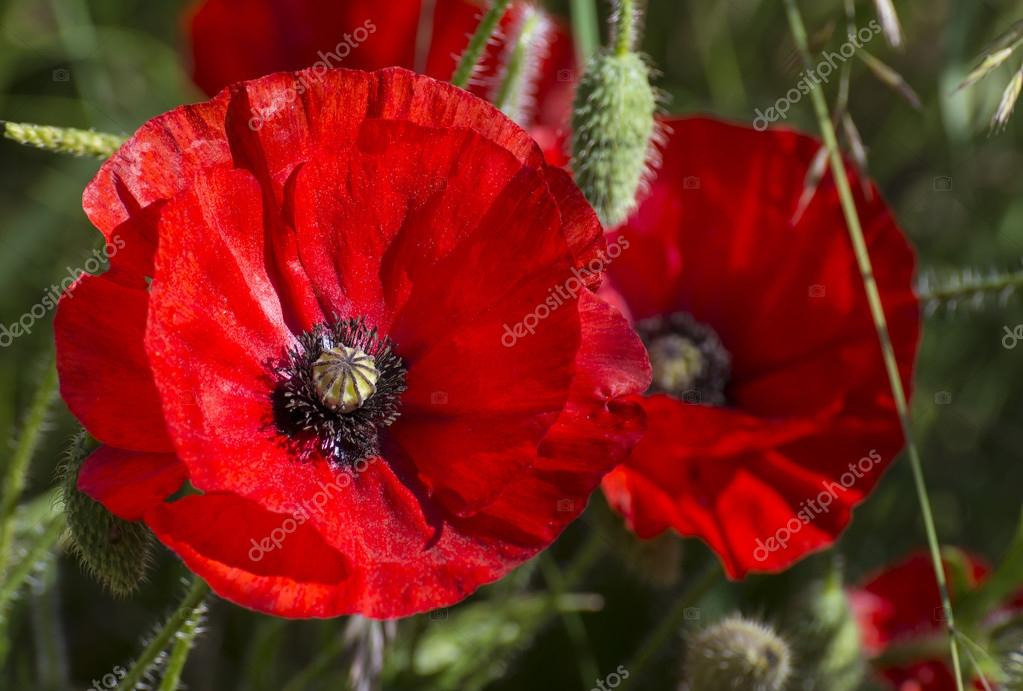 Bright Red Poppies A Symbol Of Remembrance Day Stock Photo