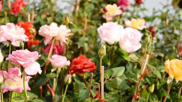 Roses in a Rose Garden