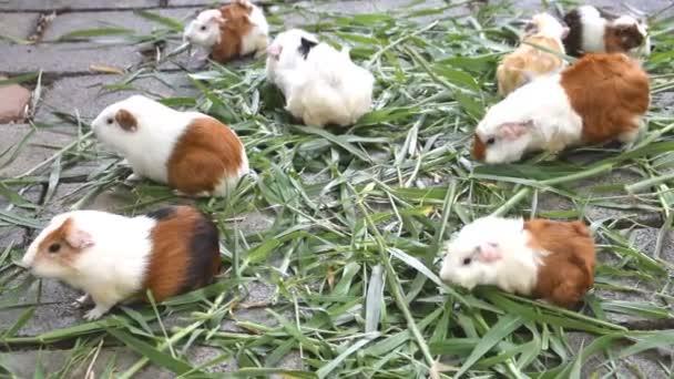 Meerschweinchen Essen Gras