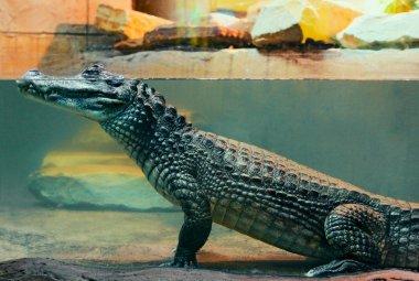 Caiman crocodile in water