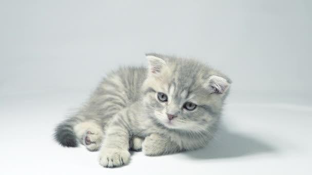 Vicces kis szürke fold skót cica cica játszik egy fehér háttér.