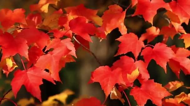 Foglie di acero autunno rosso brillante