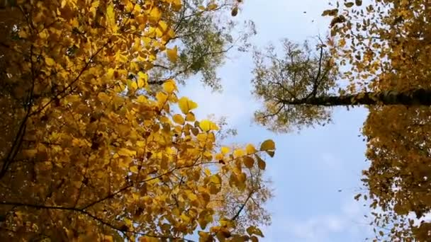Falling yellow maple Leaves
