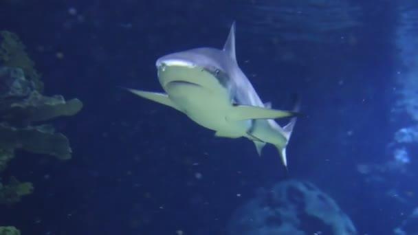 Víz alatti szemcsésedik közelít a cápa, korall-zátony környezetben