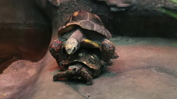 A couple of tortoises are having sex