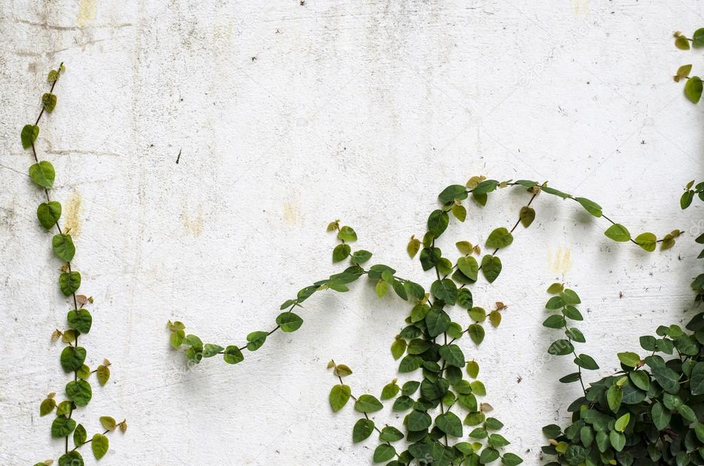 Climber plant on  concrete wall
