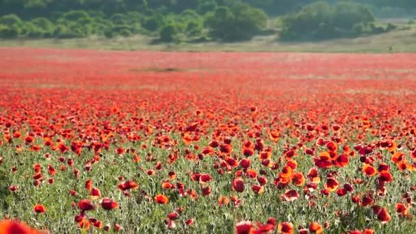 pole se zelenou trávou a červenými máky proti zapadajícímu slunci. Krásné polní červené máky se selektivním zaměřením. Červený mák v měkkém světle. Opiový mák. Mýtina červených máků. Rozmazání měkkého ostření