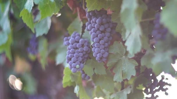 Reife blaue Trauben, die in den Weinbergen bei Sonnenuntergang wachsen, selektiver Fokus. Weinberge Trauben bei Sonnenuntergang in der Herbstlese. Weinbereitungskonzept. Schöne Trauben reif für die Ernte. Goldenes Abendlicht.