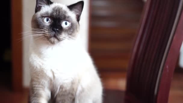 Szelektív fókusz. Skót macska. Színes csokoládé Helló. Háziállatok, reggel, kényelem, pihenés és emberek koncepció - boldog macska otthon.