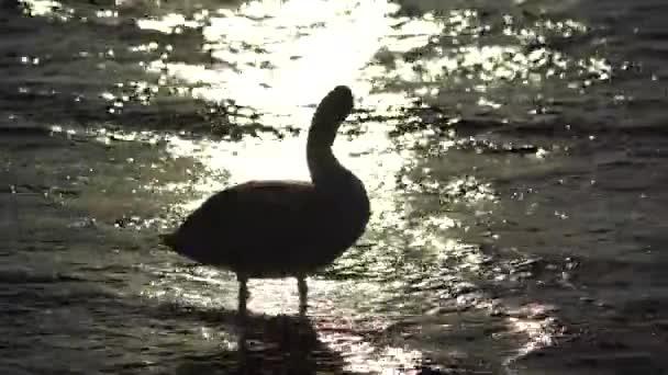 Schöne junge Schwäne schwimmen am Strand des Meeres bei goldenem Sonnenuntergang
