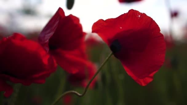 Červený mák extrémně blízko květů okvětních lístků. Máky na louce, divoké makové pole, houpající se ve větru. Detailní záběr kvetoucích máků. Makro. Selektivní soustředění. Nekonečná krása přírody.