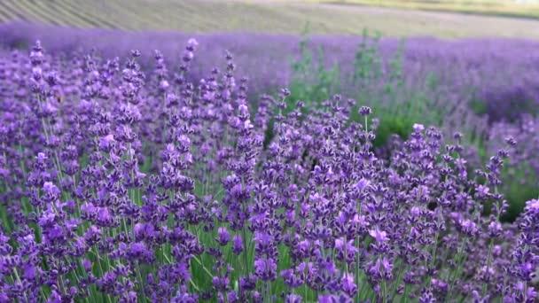Kvetoucí levandule na poli při západu slunce. Provence, Francie. Zavřít. Selektivní soustředění. Zpomal. Levandule květinové jaro pozadí s krásnými fialovými barvami a bokeh světla.