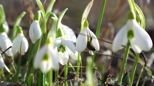 Close-up snowdrops flower blooming Early spring in the forest. Snowdrop flowers, Glade of snowdrops swaying in the wind. Bees collect honey from the first spring snowdrops, closeup. Galanthus nivalis.