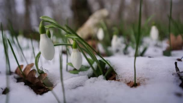 Közelkép hóolvadásról és hóvirág virágzásról Kora tavasz az erdőben. Hóvirág, hóvirág csillogás a szélben. Gyönyörű vad hóvirág, közelkép
