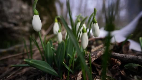 Close-up footage of snow melting and snowdrop flower blooming Early spring in the forest. Snowdrop flowers, Glade of snowdrops swaying in the wind. Beautiful wild snowdrops blossom, closeup