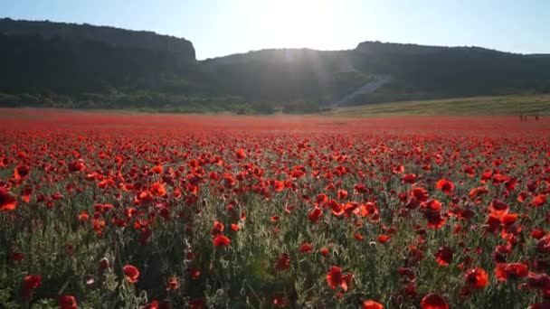 Red poppies field at sunset. Beautiful flowers and composition of spring nature.