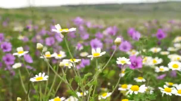 White daisy flowers field meadows. Walking through summer meadow, field of flowers, enjoying daisies, waving in the wind