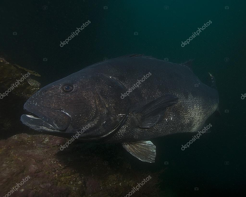 California Pacific Ocean Sea Life and Underwater fish