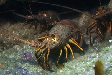 Lobster in the wild at Catalina Island