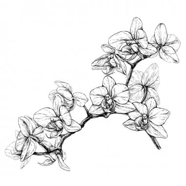 orchid branch sketch