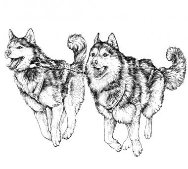 Husky sled race. Running husky dogs. vector illustration stock vector